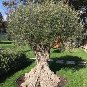 Agrumi Olive Tree